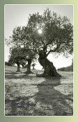 A: Olivträd